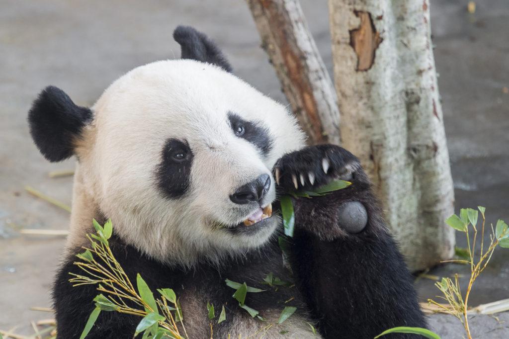 Lakeudelle Ähtäri Zoo Pyry Panda syömässä bambua