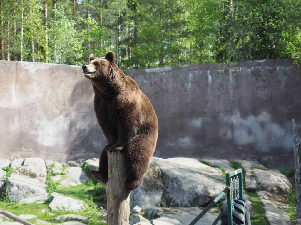 Lakeudelle Ähtäri Zoo karhu kiivenneenä puun nokkaan